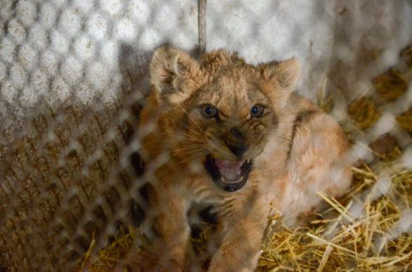 В ДНР родился первый лев